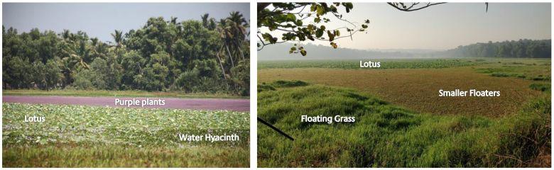 Invasieve Wasserplanzen im Vellayani See